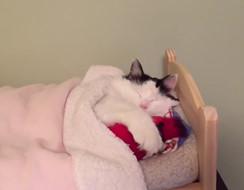 Boss Mèo ngoan nhất thế giới, tự lên giường đắp chăn đi ngủ dễ thương chưa kìa