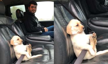 Chú chó nhỏ thắt dây an toàn trên xe đang là tâm điểm của cộng đồng mạng