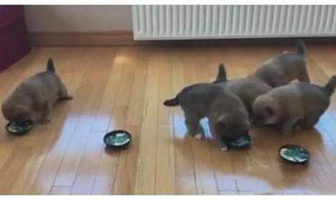Lũ cún con đang ăn bắt đầu đi giành đồ ăn với nhau và cái kết không thể hài hơn
