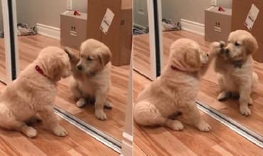 Chú Golden nhỏ ngồi lau kiếng cực đáng yêu khiến dân cư mạng phát cuồng