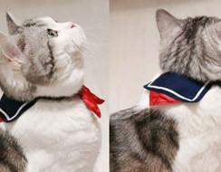 Bé mèo đốn tim cộng đồng mạng Nhật Bản với bộ đồng phục nữ sinh cực đáng yêu
