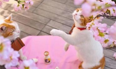 Khi boss mèo làm dáng với vườn hoa anh đào - Thần thái choáng ngợp khó tả