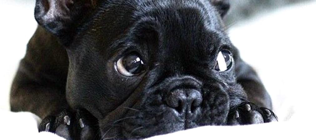 Thực tại đáng buồn mà Bull Pháp - một trong những giống chó đắt tiền bậc nhất - đang phải chịu đựng - Ảnh 3.