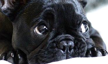 Chó Bull Pháp và những vấn đề nghiêm trọng mà chúng đang gặp phải